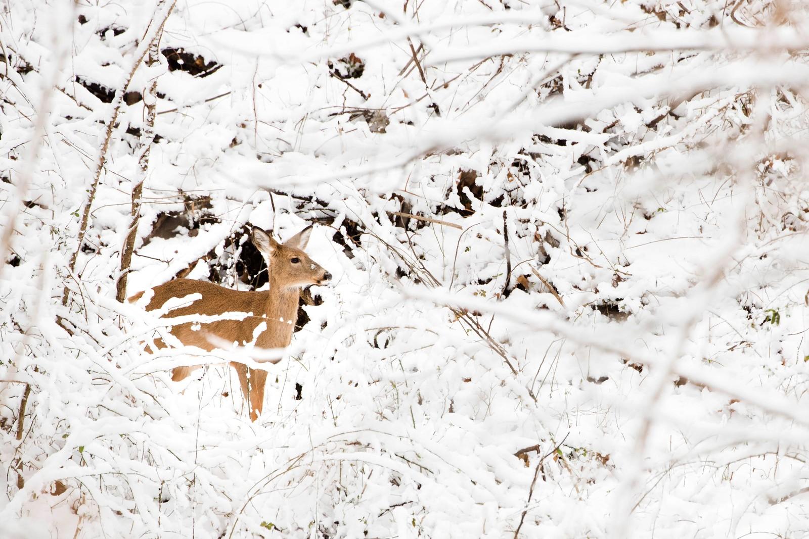 En hjort i snøen i Wissachikon Valley Park i Philadelphia.