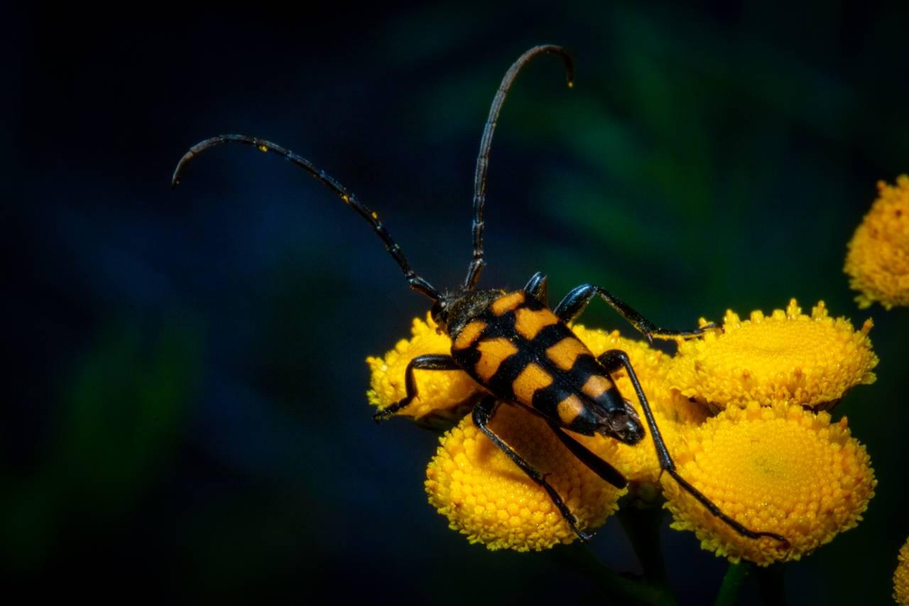 Husker du billen med millitærstriper? Nå ser vi den i all sin prakt. Den har lange antenner, er gul og sort stripete. Den har også ganske lange ben, Bakkroppen ender i en spiss mot rompa.