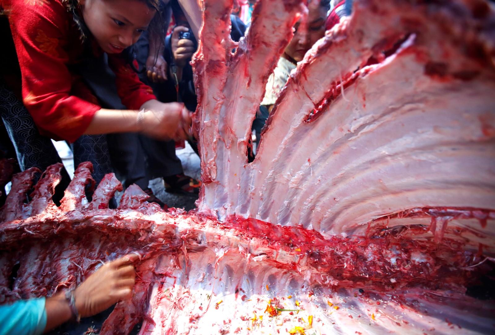 """Mennesker river kjøtt av en bøffel som har blitt ofret under den hinduistiske høytiden """"Dashain"""" i Bhaktapur i Nepal."""