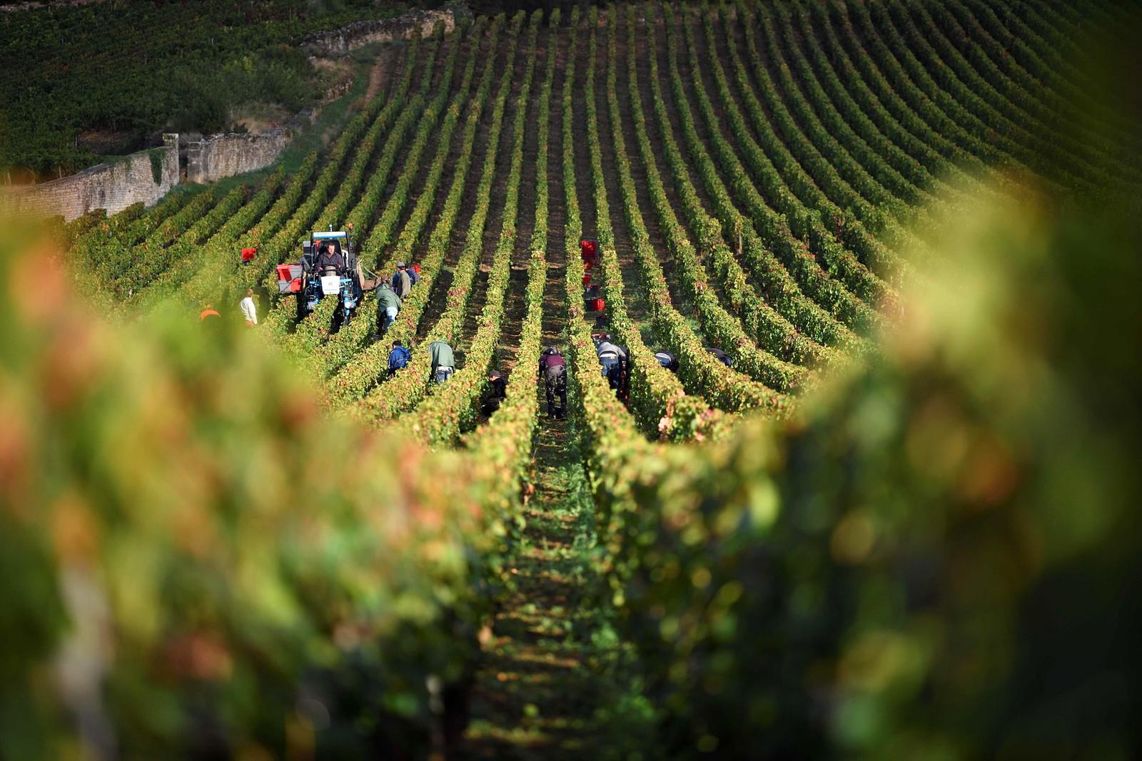 Vindrueplukkere høster druer ved vingården til Domain Armand Rousseau i Gevrey-Chambertin i Frankrike.