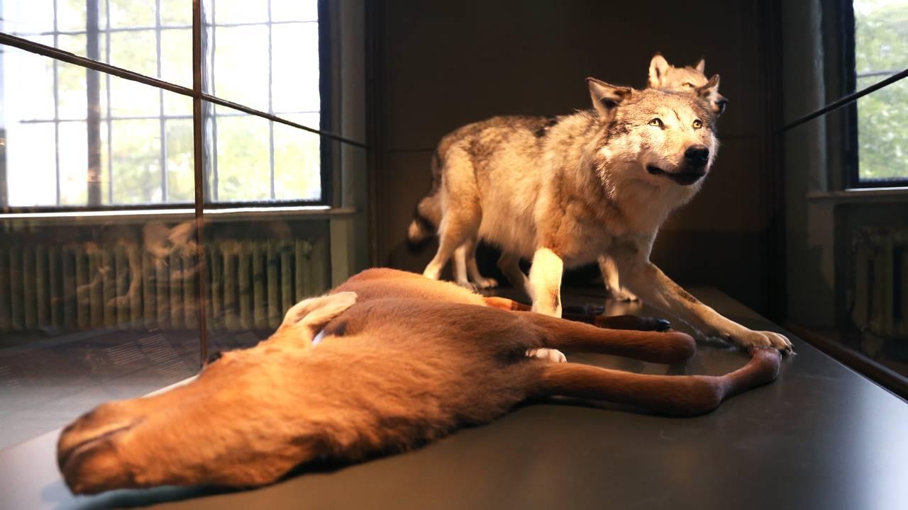 Naturhistorisk museum åpner igjen i Bergen