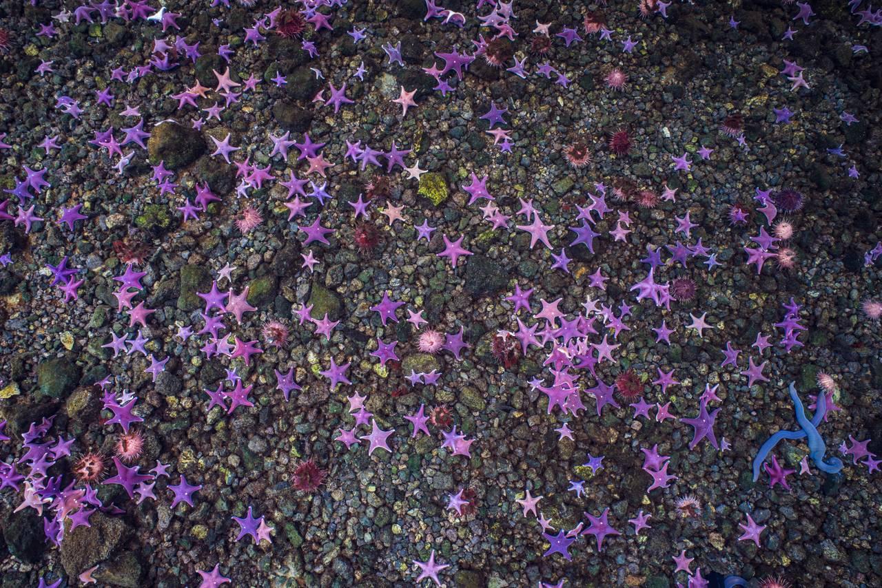 Rosa og lilla sjøstjerner lager en stjernehimmel på bunnen av havet i Antarktis