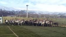 Reinsdyrene har fått fotballbane