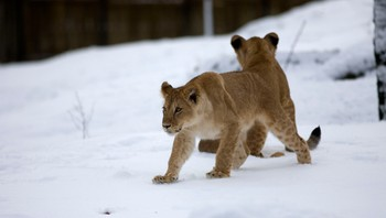 Løvene i Dyreparken