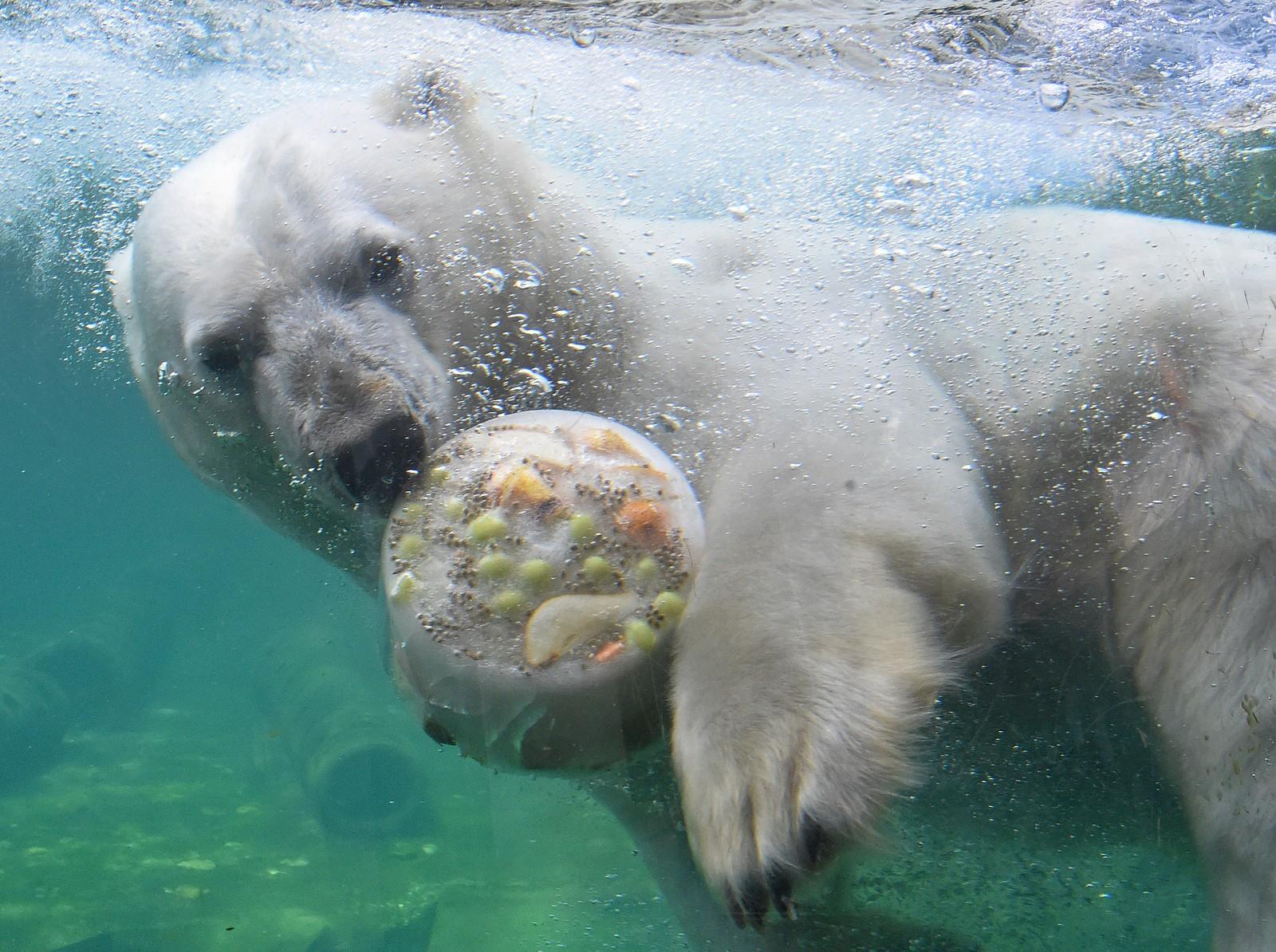 Isbjørnen Milana kjøler seg ned med litt frossen næring i Hannover, Tyskland.