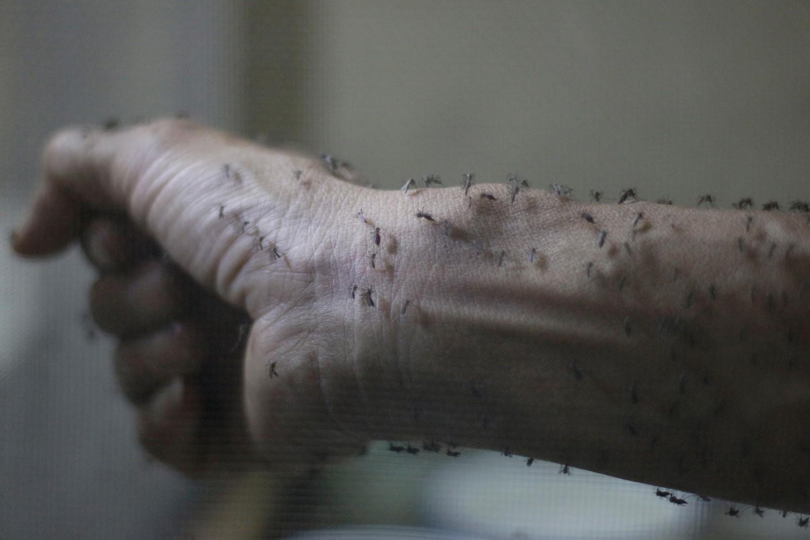 Det svermer av små mygg på armen til denne helseforskeren i et forskningssenter i Guatemala by. Forskerne jobber på spreng for å finne ut hvordan de kan hindre spredningen av zika-viruset, som sprer seg i eksplosiv fart i alle deler av Amerika utenom Canada og Alaska. Det finnes ingen kur eller vaksiner mot det farlige og smitsomme viruset, og det frarådes reise til landene som er berørt.
