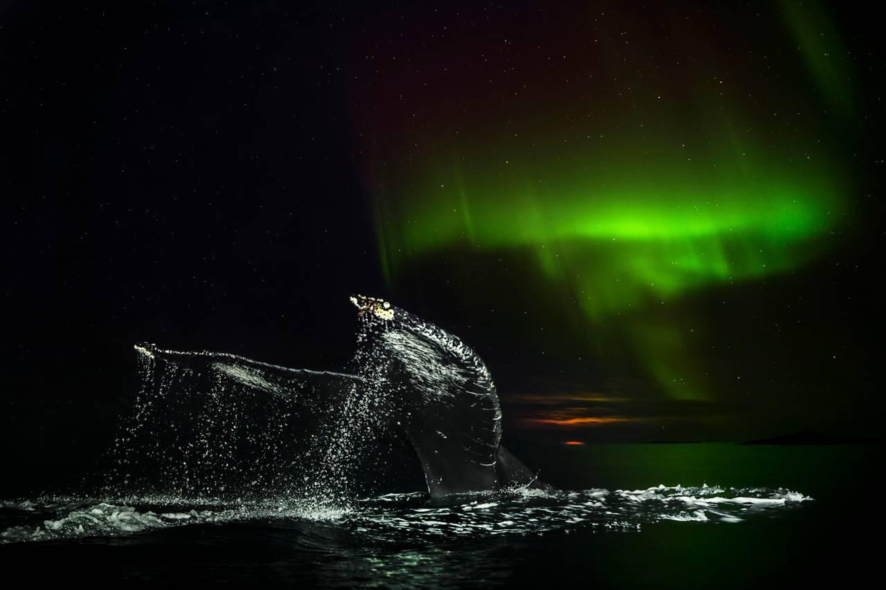 Halen til en knølhval stikker opp av havet, under en himmel farget grønn av nordlys