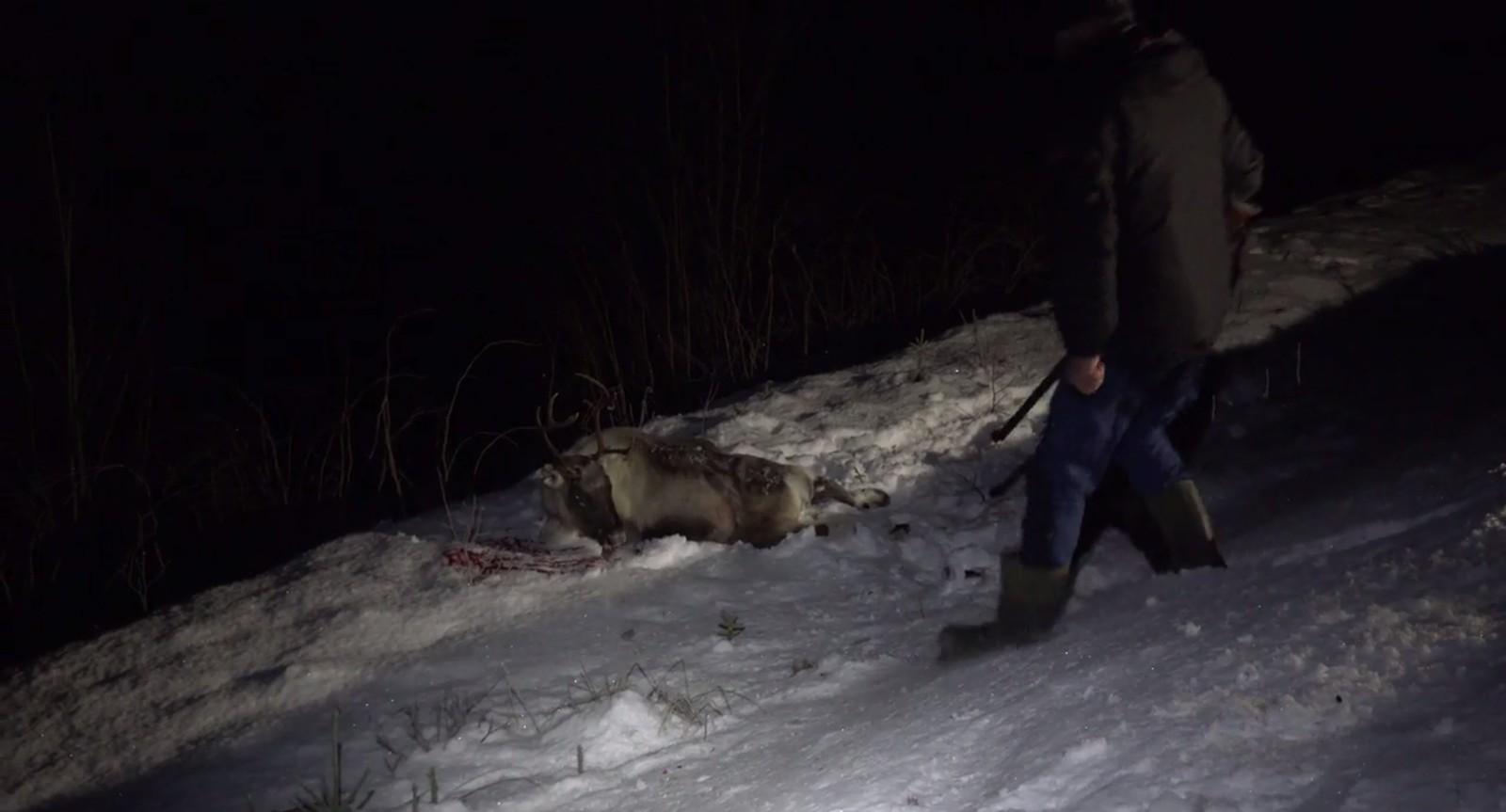 Dette reinsdyret overlevde påkjørselen, men reineieren måtte avlive det hardt skadde dyret.