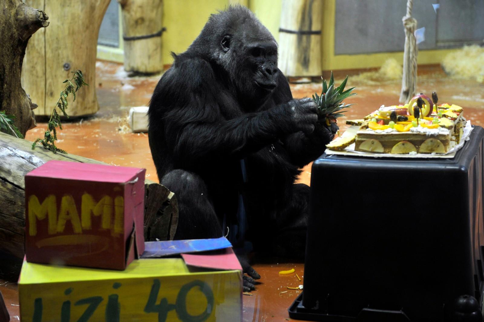 Gorillaen Liesel feira sin 40. bursdag med fruktkake i Budapest dyrehage. Hun ble født i fangenskap i Tyskland, før hun ble flytta til Budapest i 1989.