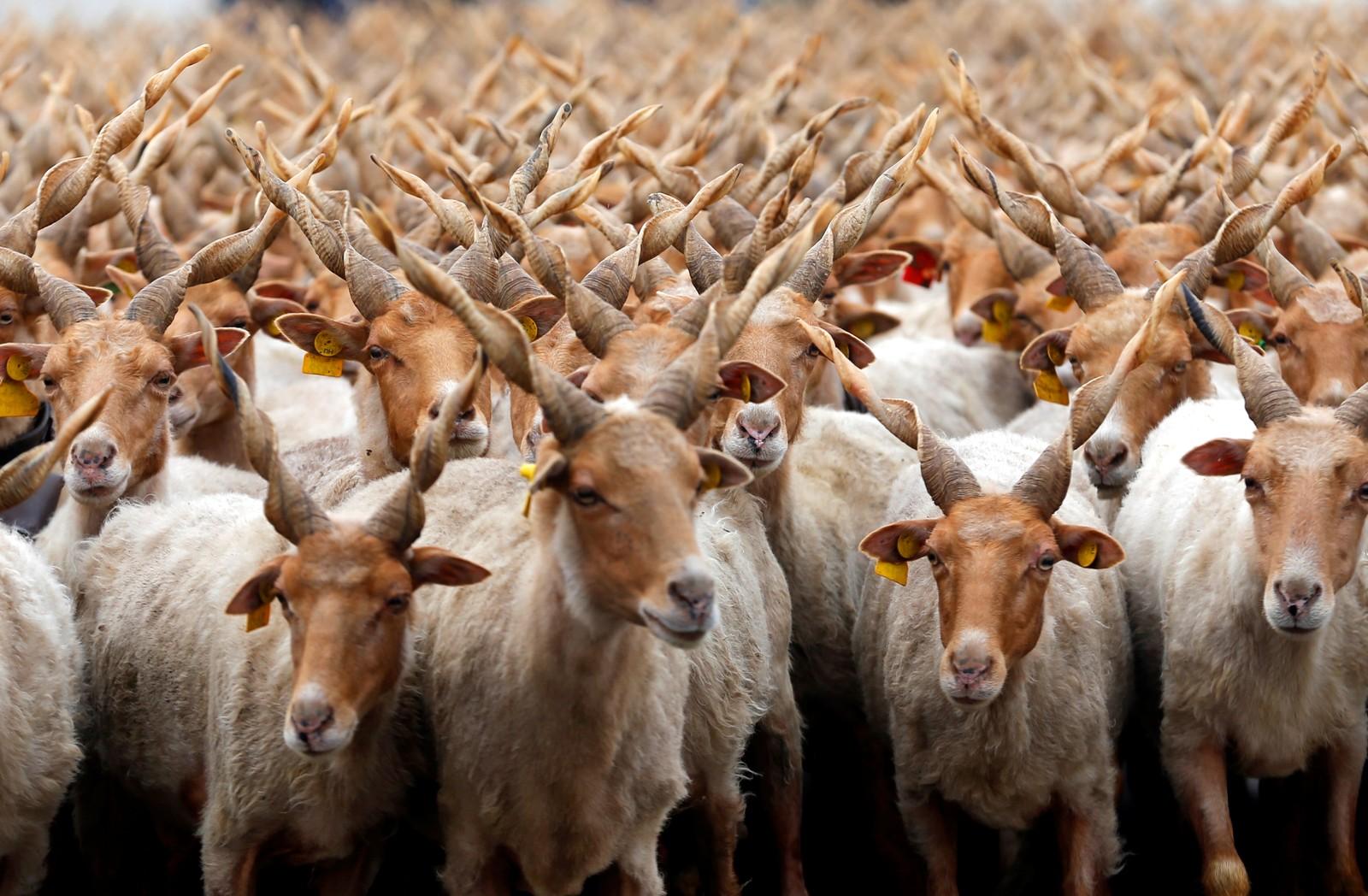 De såkalte skruhornsauene innleder en ny beitesesong i Hortobágy, Ungarn.
