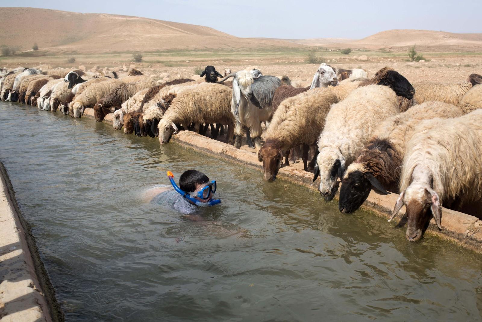 En israelsk gutt svømmer ved siden av sauer i landsbyen Al-Auja på Vestbredden 8. april.