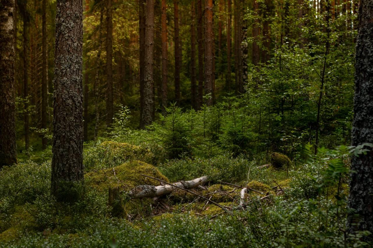 Grønn og vill skog. En død trestamme hviler over mosen i midten av bildet.