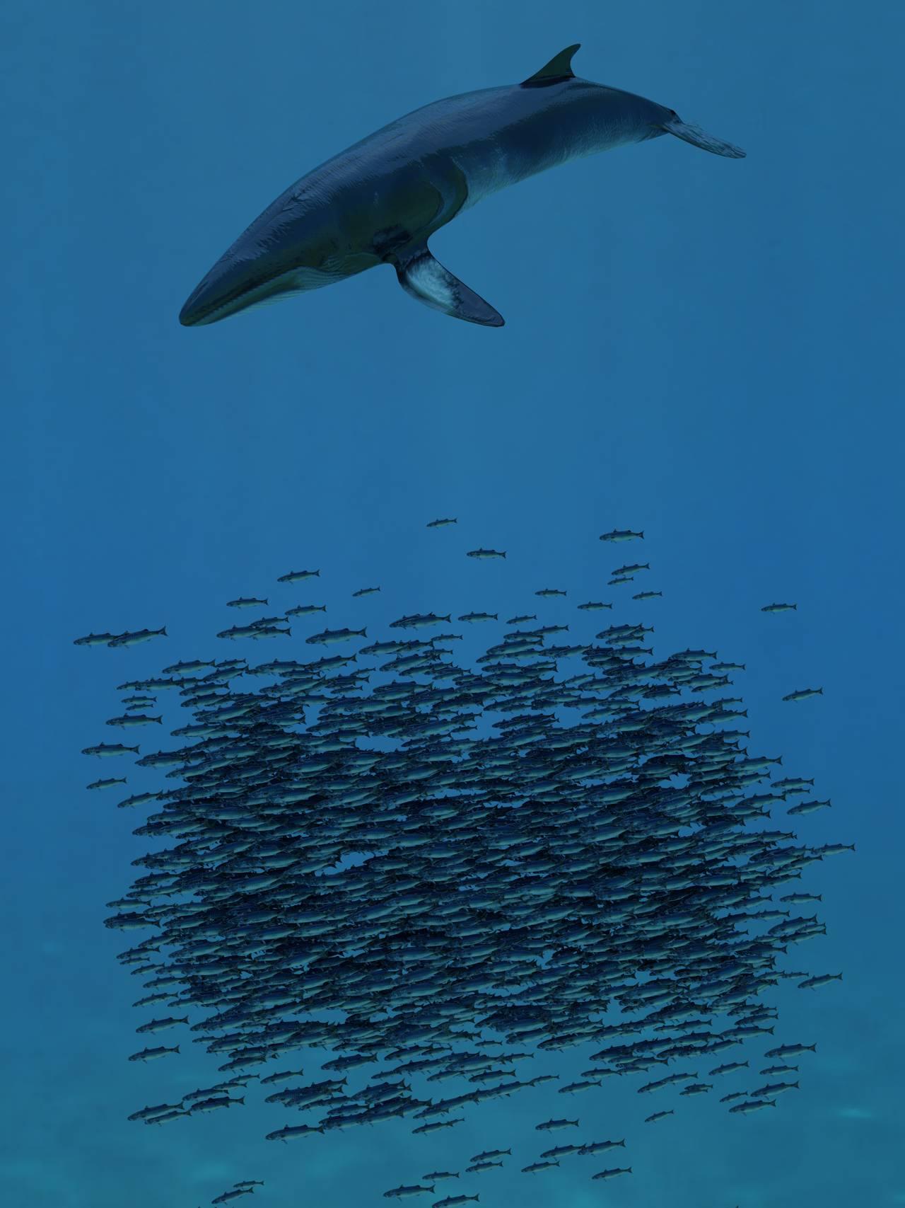 Vågekval spiser 100kg makrell