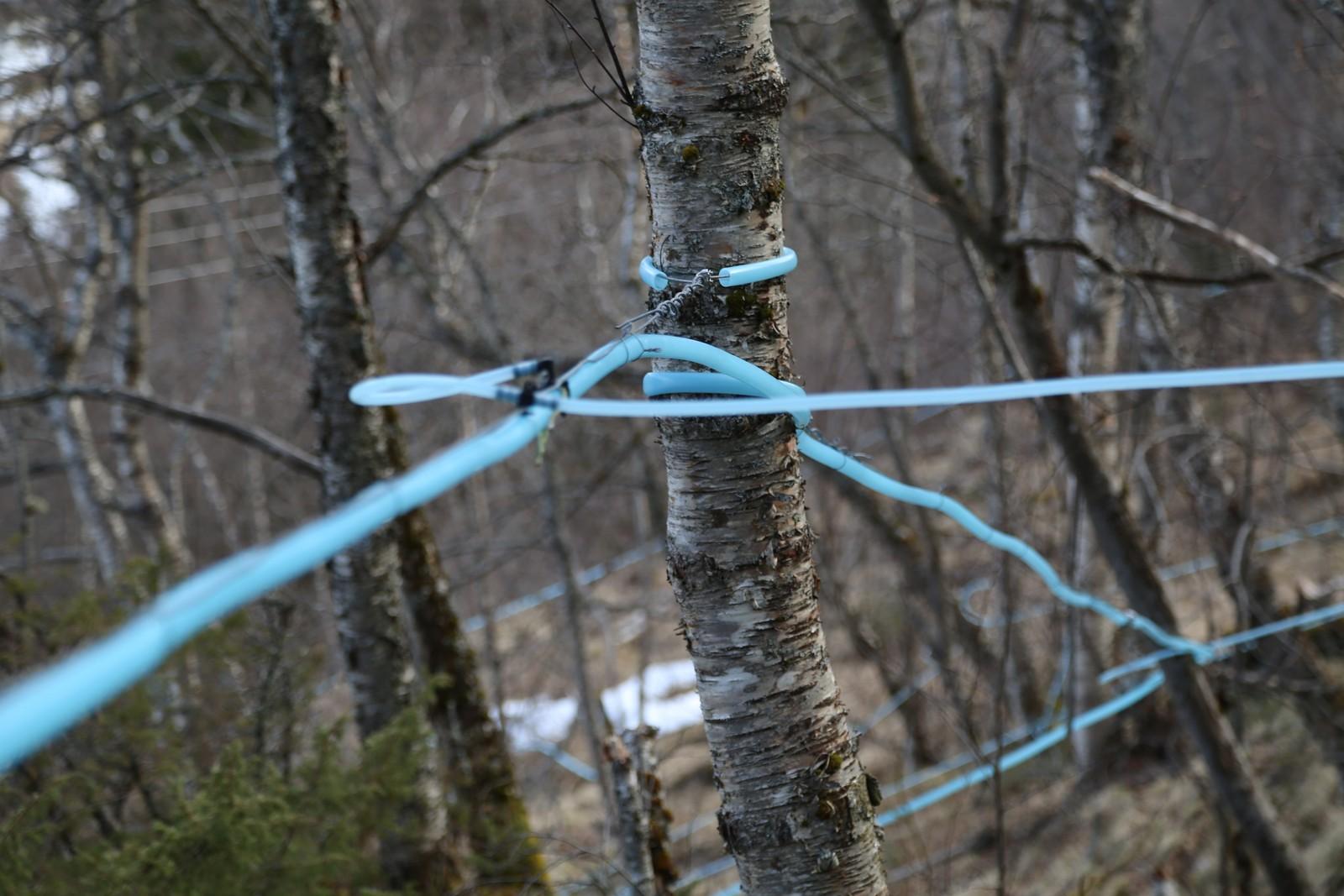 Over én mil med slanger har Vik montert i bjørkeskogen like bak gården i Saltdal.