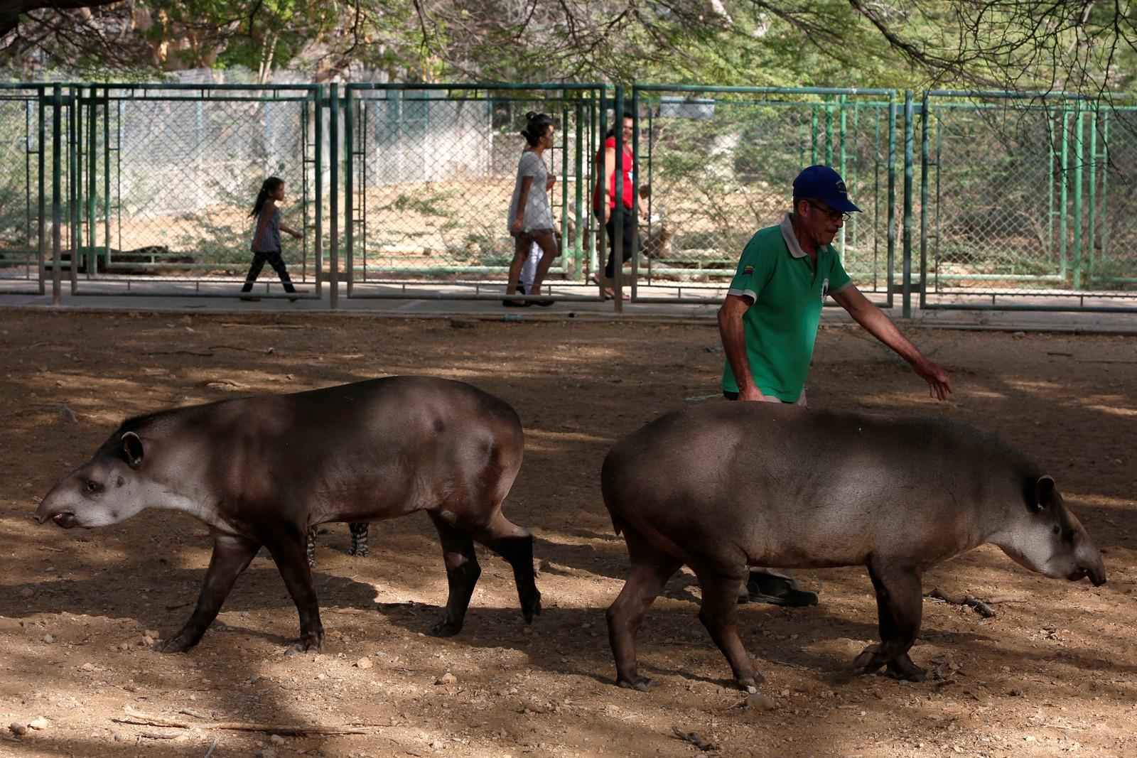 De siste ukene har flere tapirer dødd i Caracas.