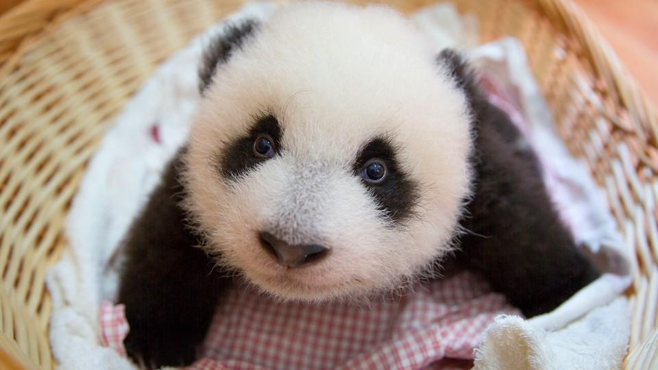 En panda kommer til verden