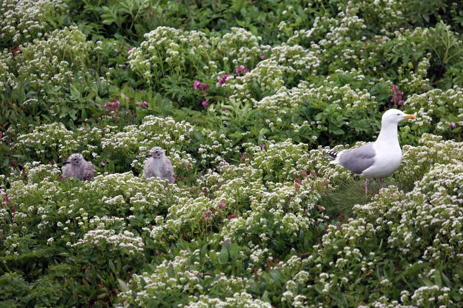 Her er en gråmåke på tur med barna. De hekker ikke i selve fuglefjellet men på toppen av Hornøya. Også gråmåkene spiser mest fisk – men også naboens barn.
