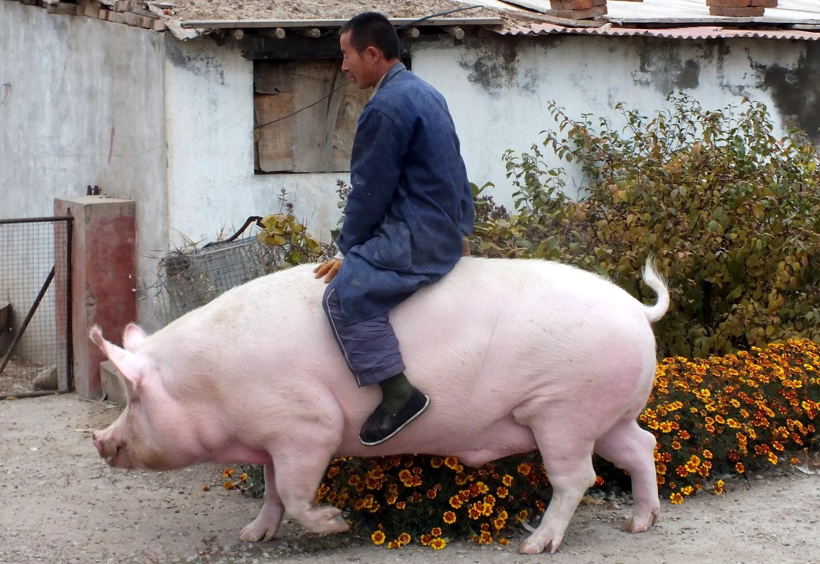 """Bonden Zhang Xianping rir på sin """"Big Precious"""" mens fotografene knipser i vei. Grisen var egentlig på vei til slakteren, men bonden bestemte seg for å ha den som kjæledyr da vekta nådde 600 kilo."""