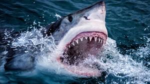 Den gåtefulle haien