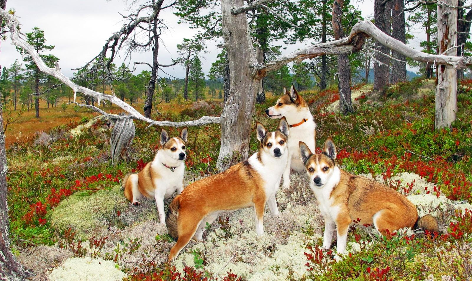 Norske lundehunder i fine høstfarger på Snøton i Orkdal