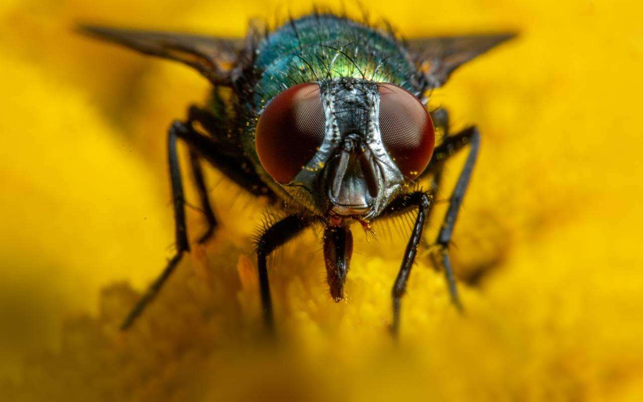 Nærbilde av en spyflue på en blomst. Den har røde fasettøyne og grønn kropp med stive hårstrå. Den ser rett mot deg.