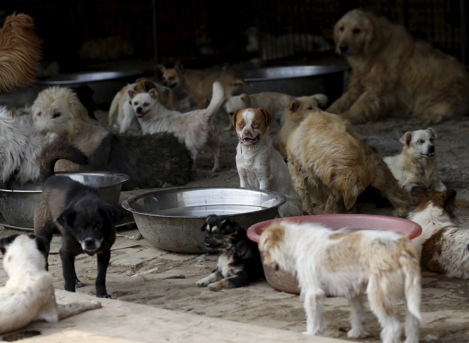 Disse hundene har blitt reddet av Yang Xiaoyun i Tianjin, Kina. Hundene skulle egentlig slaktes og spises, men den hundeglade kvinnen sier hun har kjøpt 500 hunder fra kjøtthandlerne i Yulin. Yang tar nå vare på over 1000 hunder. Noen av dem var løshunder mens andre var på vei til å bli menneskemat.