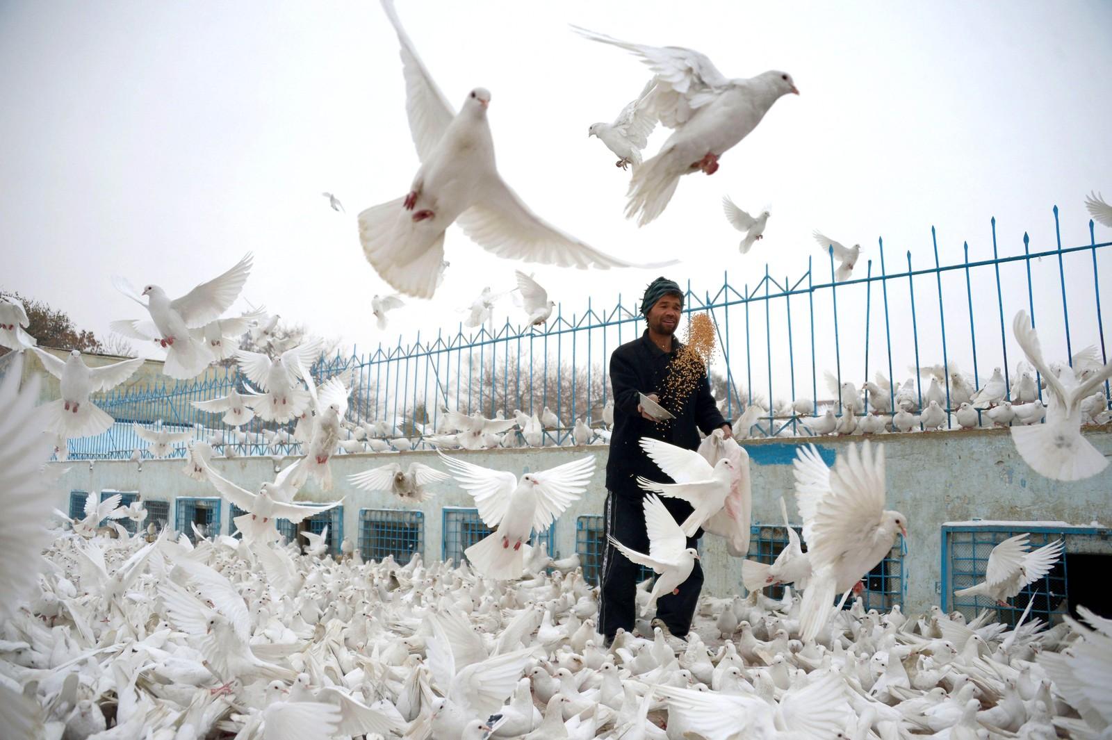 En afghansk mann mater duer på den berømte plassen utenfor Den blå moskéen i Mazar-e Sharif.