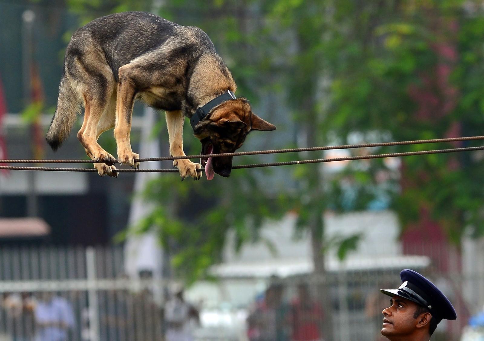 En hund er med på å feire politiets 151-årsjubileum i Colombo i Sri Lanka.