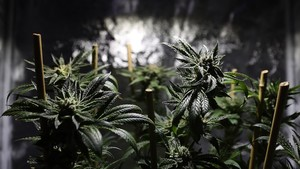 Folkeopplysningen: Cannabis