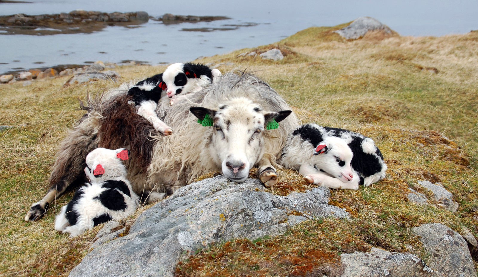 Villsauen Dixie med trillinger, Stølan på Frøya