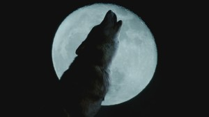 Ulveblod