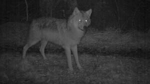 Ut i naturen: Ulvene kommer