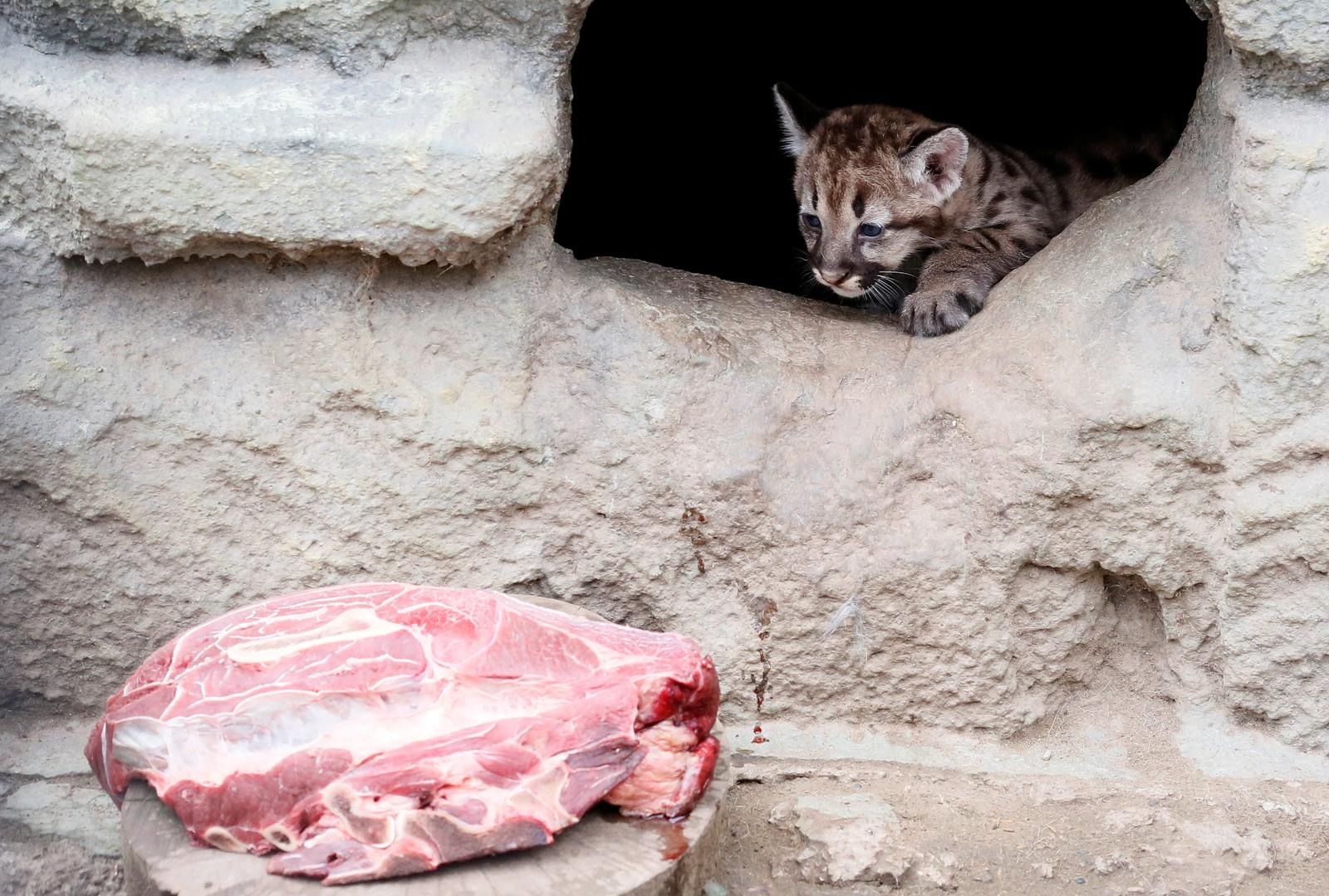 En liten nordamerikansk puma har fått øye på en stor godbit i dyrehagen Royev Ruchey i Krasnojarsk i Russland.