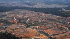 På Borneo i Indonesia hugges regnskogen for å gi plass til palmeoljeplantasjer.