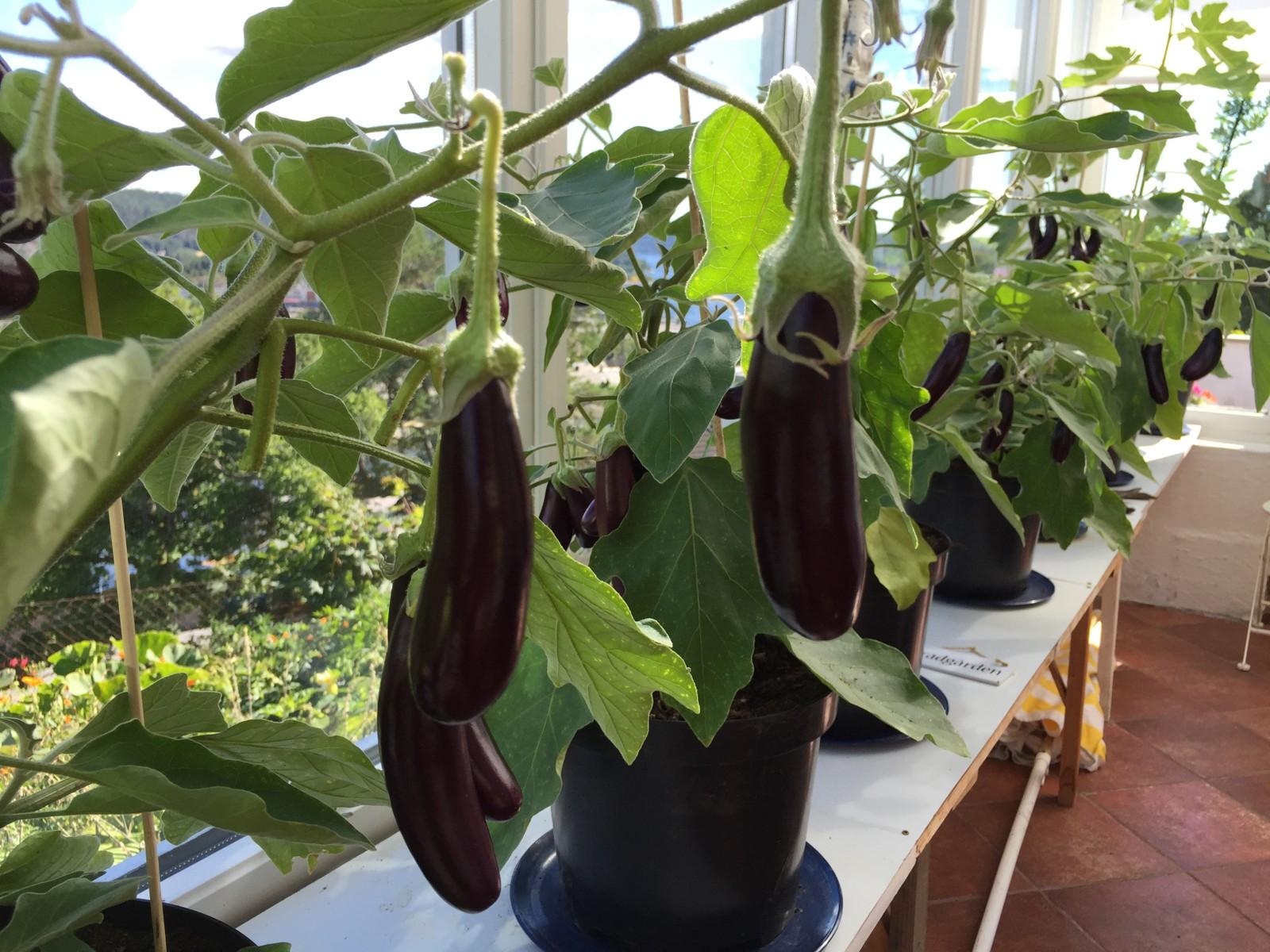 Selvsådde auberginer i vinterhagen.