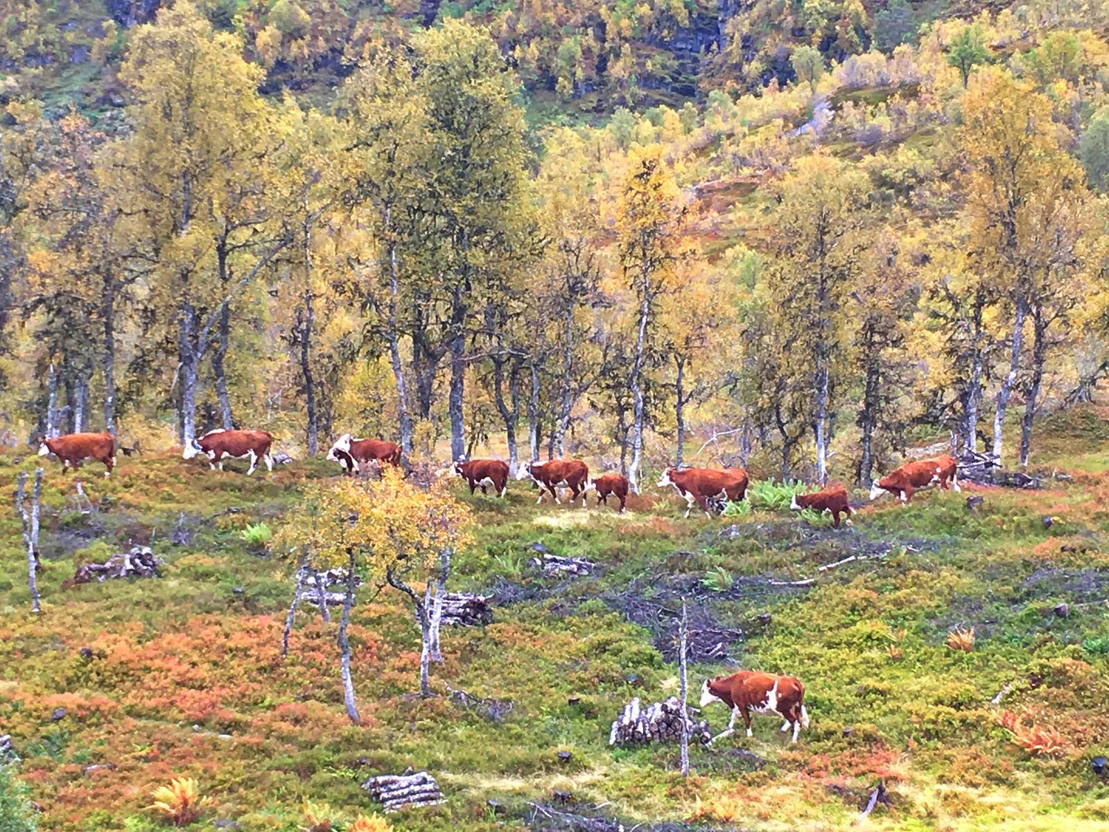 På rad og rekke heimover. Sommarferien er over, hausten er her. Frå Øvstedalen, Sogndal.