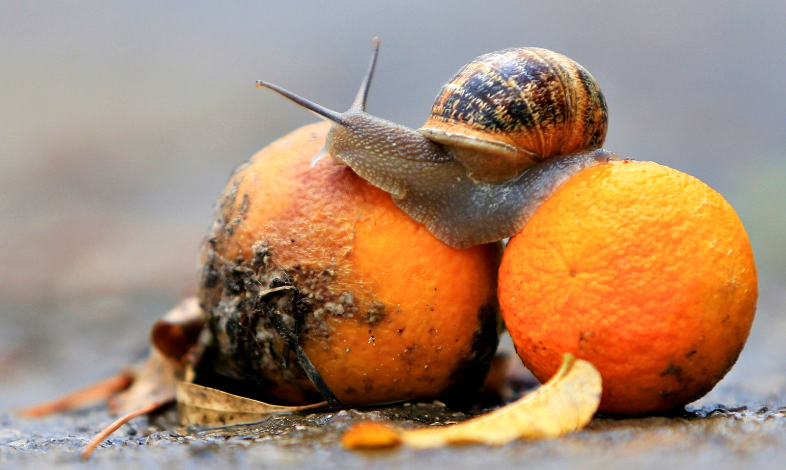 Livet kan neppe bli bedre for en snegle. Det har nettopp regnet, og så snublet han over to appelsiner. Bildet er tatt i Jizeen i Libanon.
