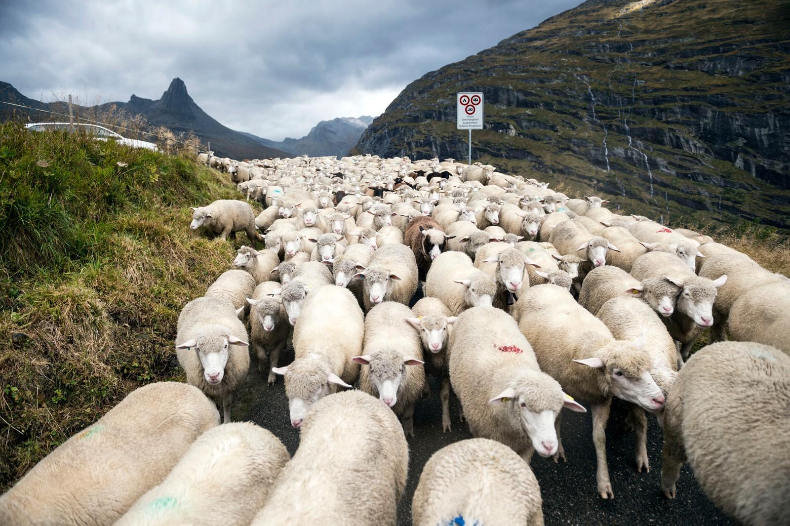650 sauer valgte hovedveien da de skulle hjem fra sommerbeite i de sveitsiske alpene denne uka. I bakgrunnen ruver fjelltoppen Zervreilahorn med sine 2898 m.o.h.