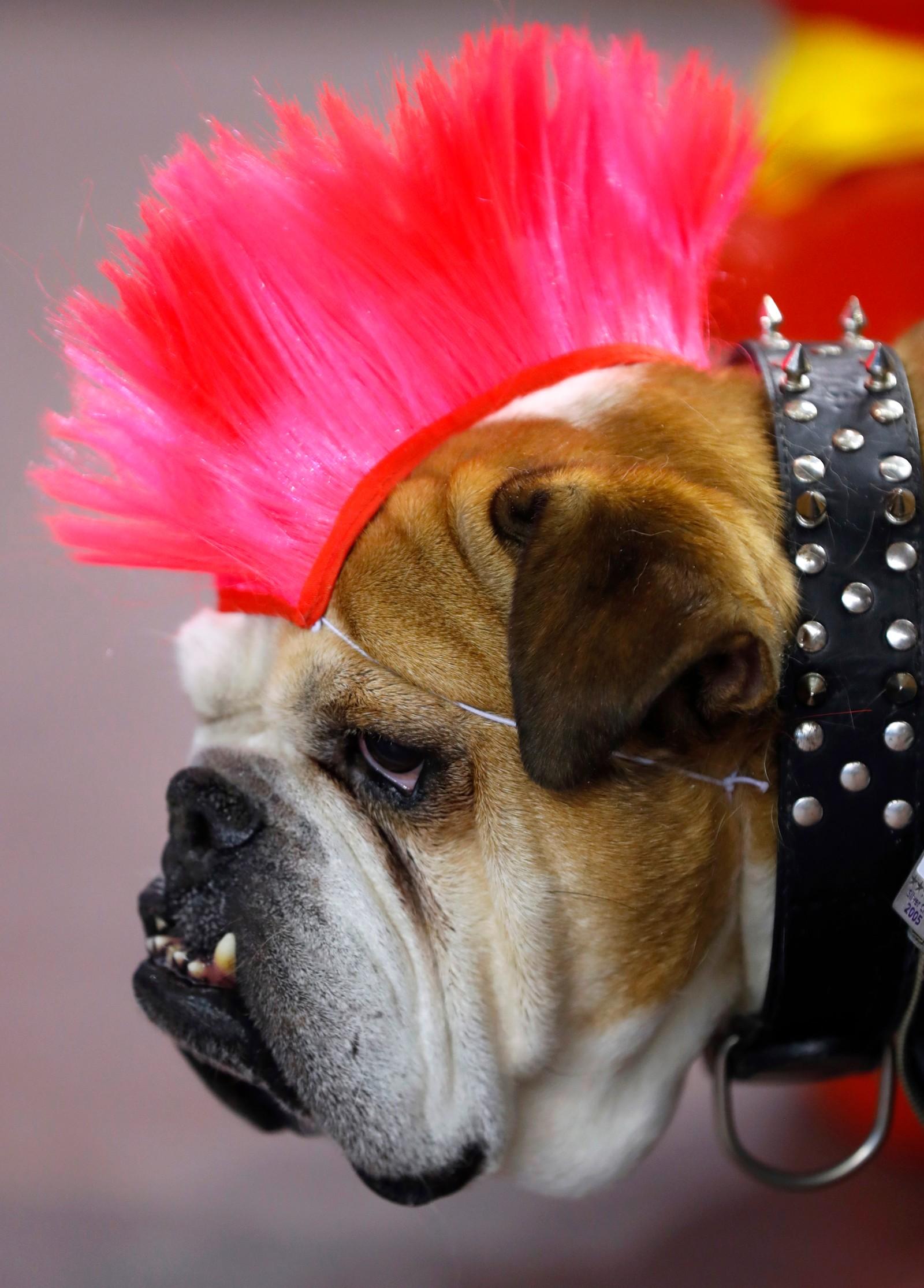 Hunden Max venter på dommernes vurdering under en skjønnhetskonkurranse for bulldogger i Des Moines i Iowa, USA.