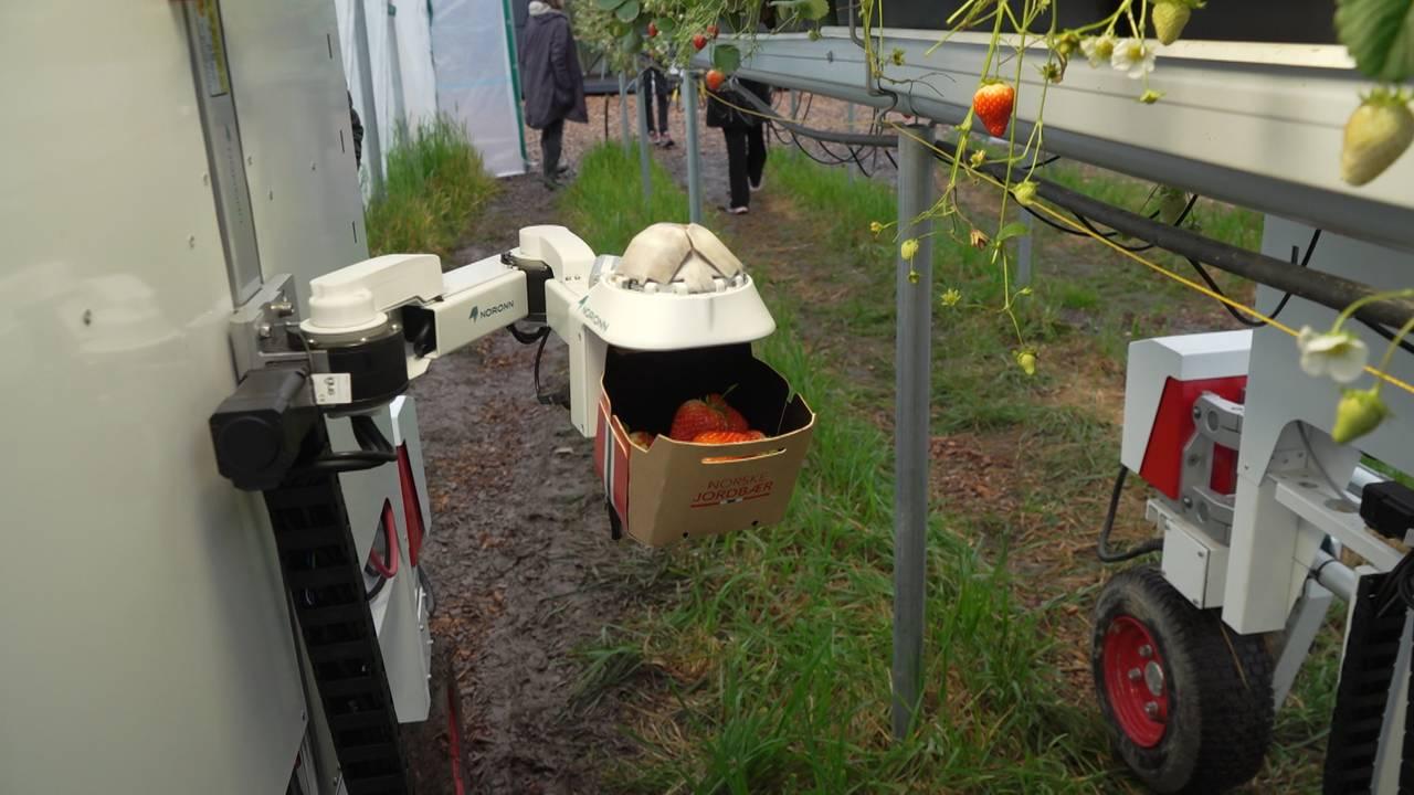 Robot plukker jordbær