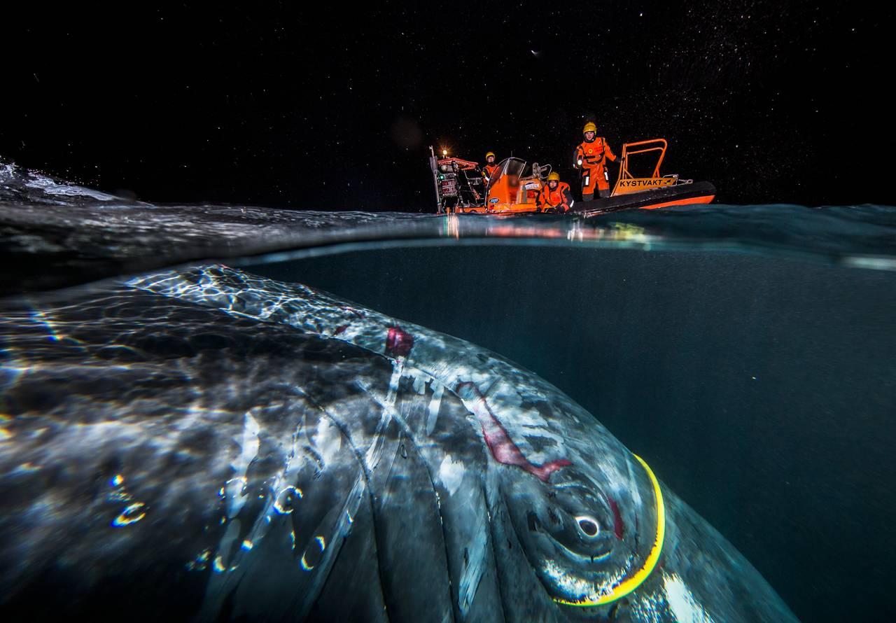 Bilde tatt halvveis under vann viser hval med gul kabel rundt øyet. På overflaten orange båt med redningsmannskap ombord.