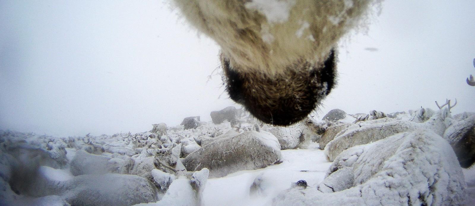 Denne flokken har lagt seg ned i det dårlige været, og lar seg rett og slett snø ned.