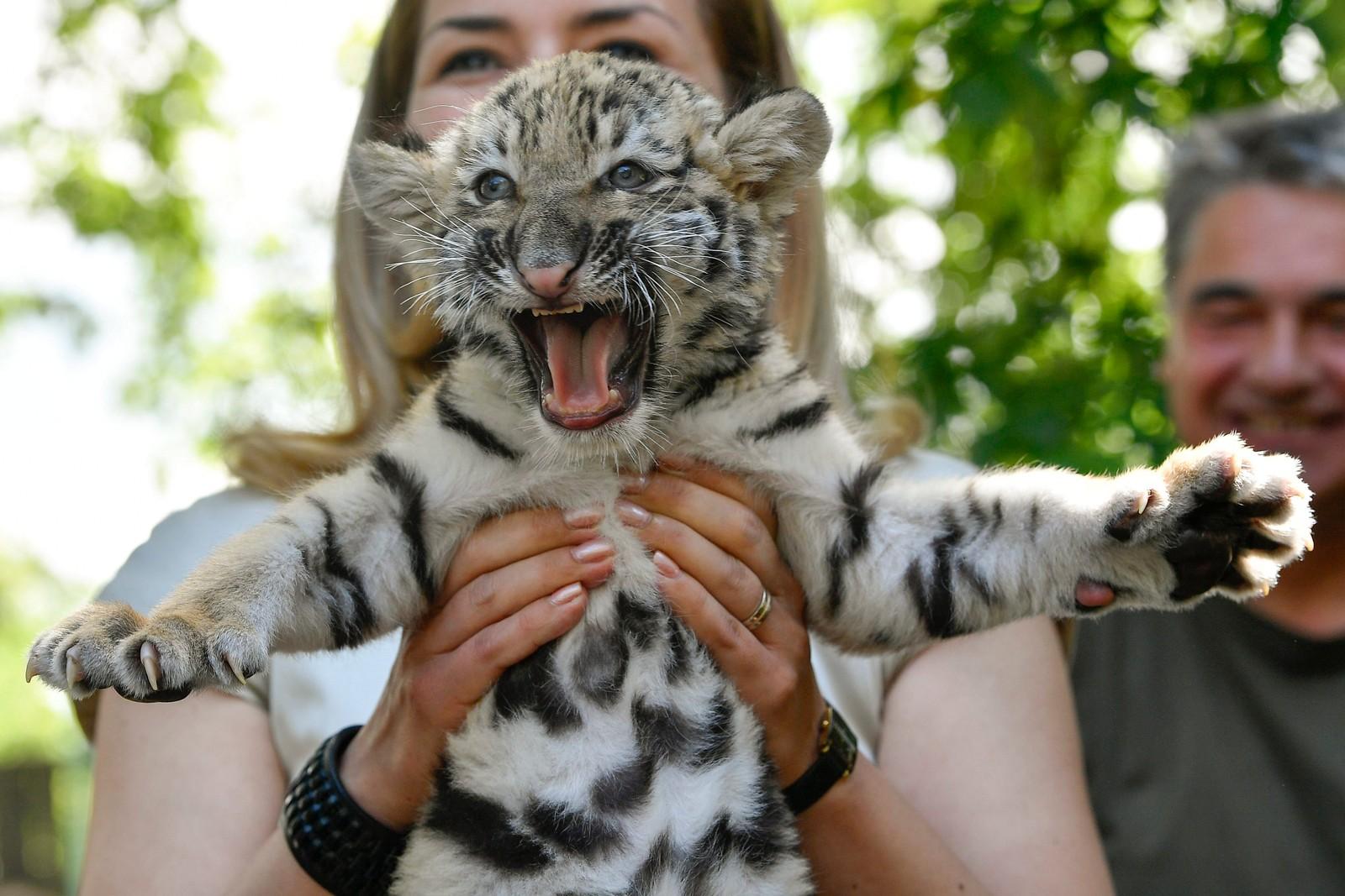 Syv og en halv uke gammel fikk denne sibirske tigeren møte pressen i Debrecen dyrehage i Ungarn.