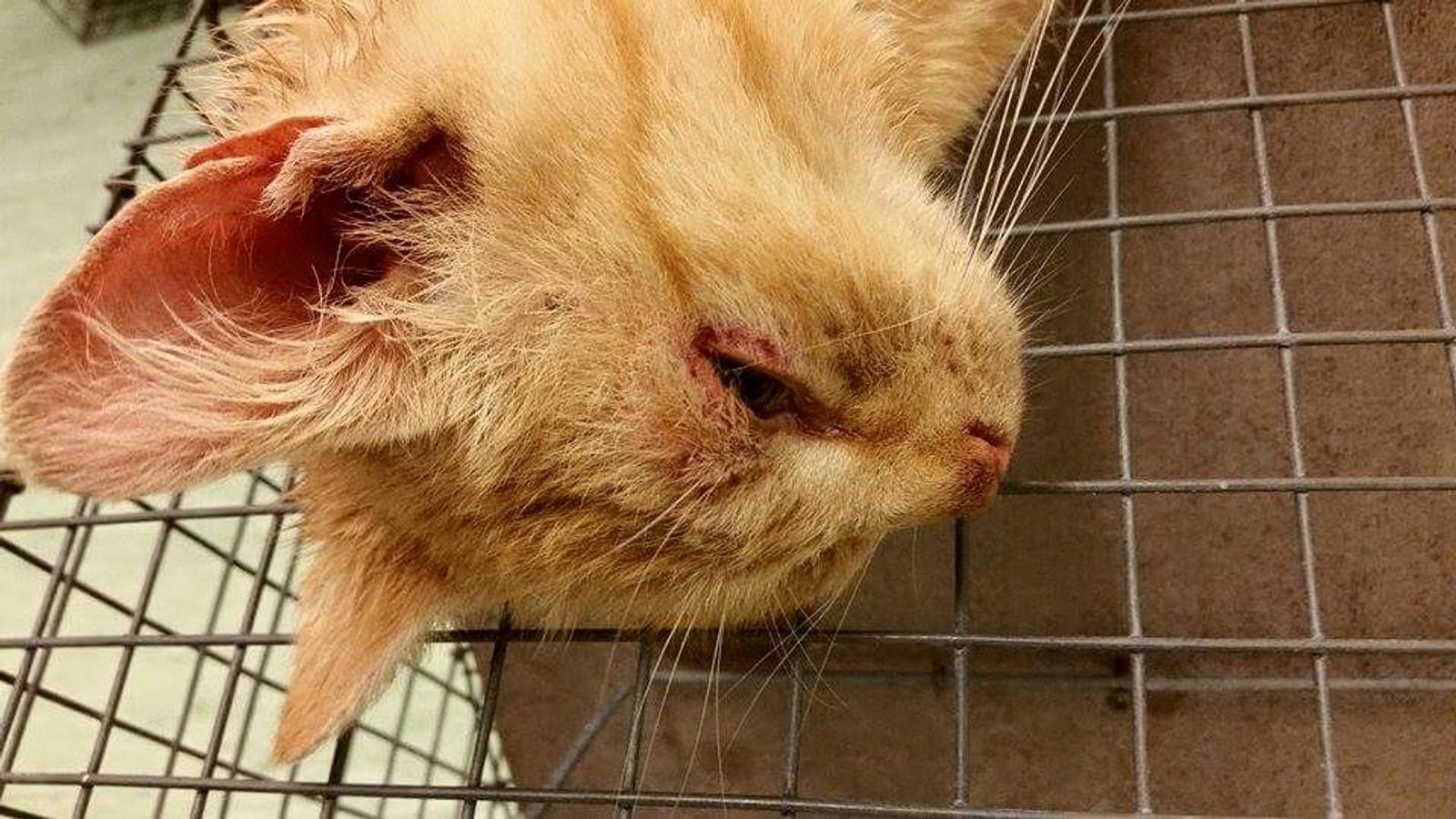 En av kattene med øyeinfeksjon fanget ved Nevlunghavn