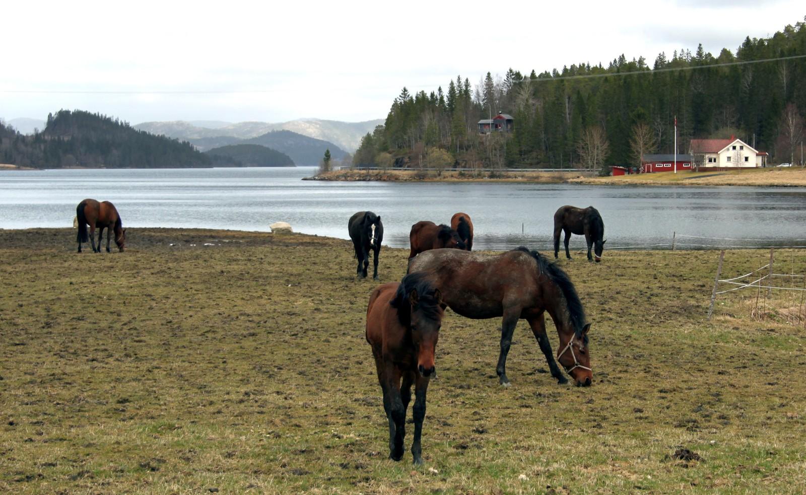 Hester i Vemundvik utenfor Namsos