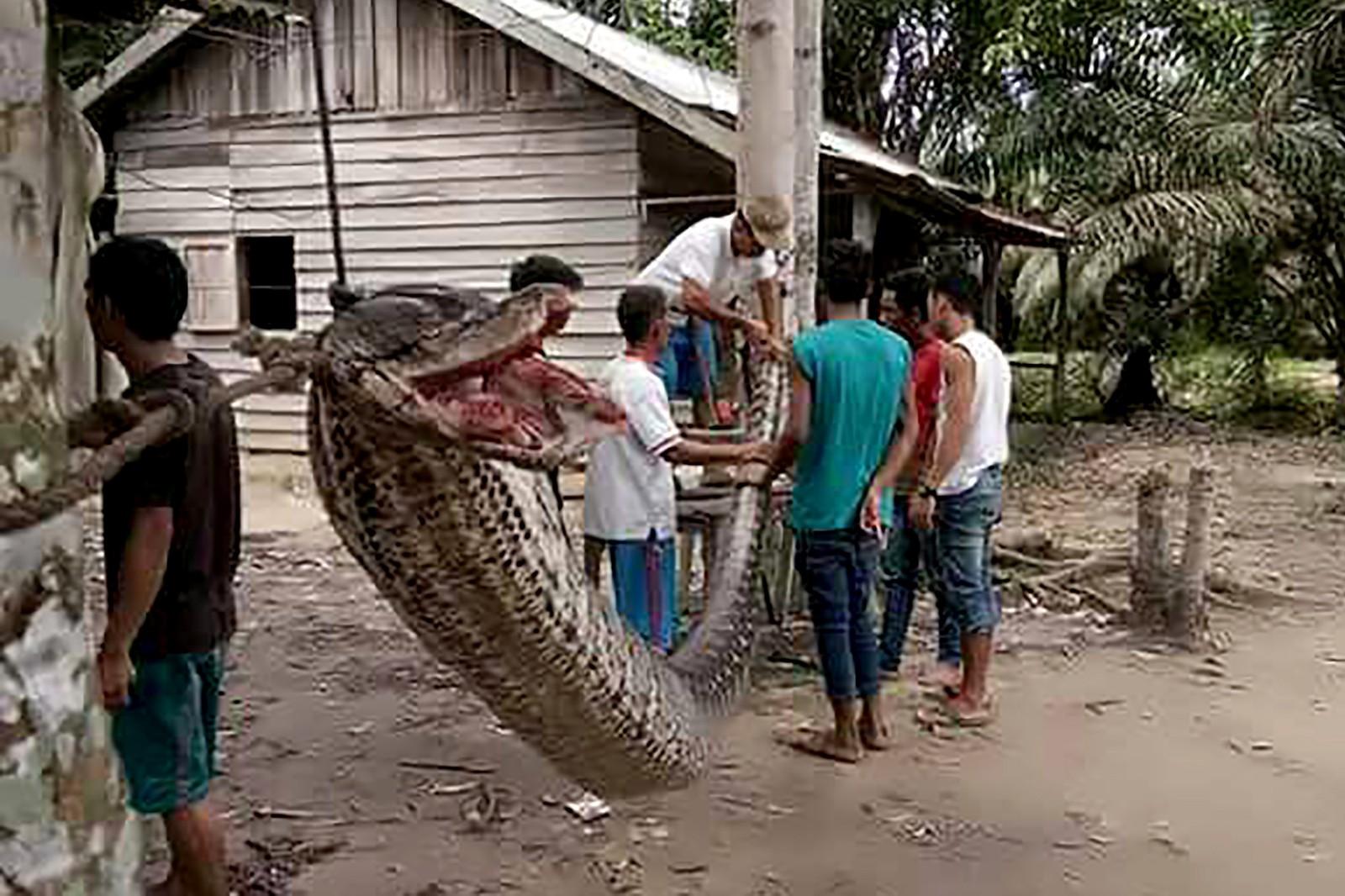 Slik ser et festmåltid ut i landsbyen Batang Gansal på Sumatra. En python-slange på nesten åtte meter angrep en mann før landsbybeboerne kom hjelpende til og drepte den. Senere ble den slakta og spist.