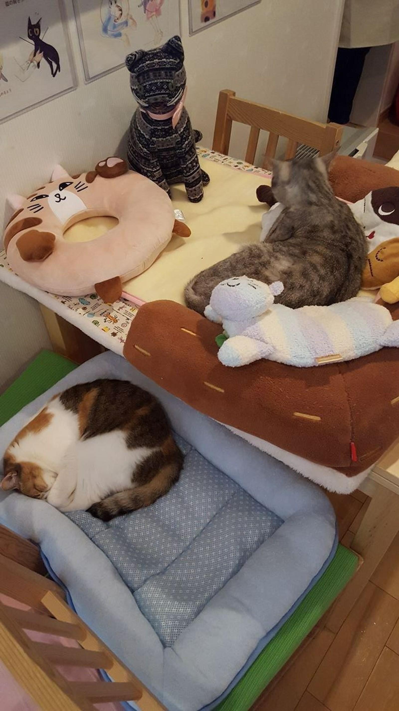 Kattekafeer er populært i Sørøstasia, men finnes også i Australia, Europa og Nord-Amerika.