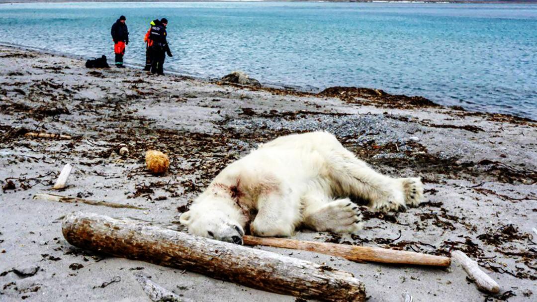 Isbjørn ligger død ved vannet