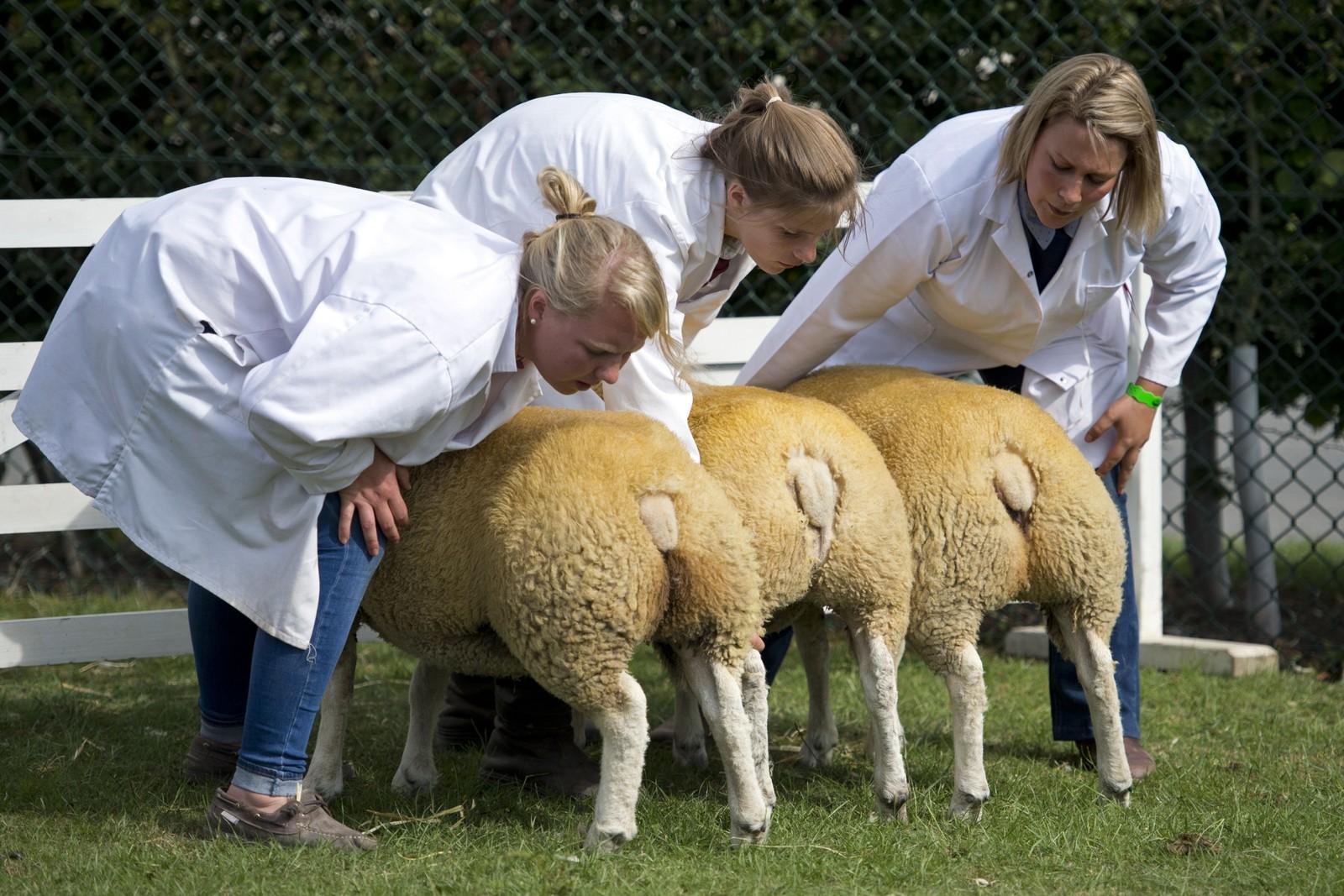 Bønder sjekker sauene på denne utstillinga i Harrogate, England. Den årlige utstillinga ble første gang arrangert i 1838, og 130.000 besøkende er venta i år.