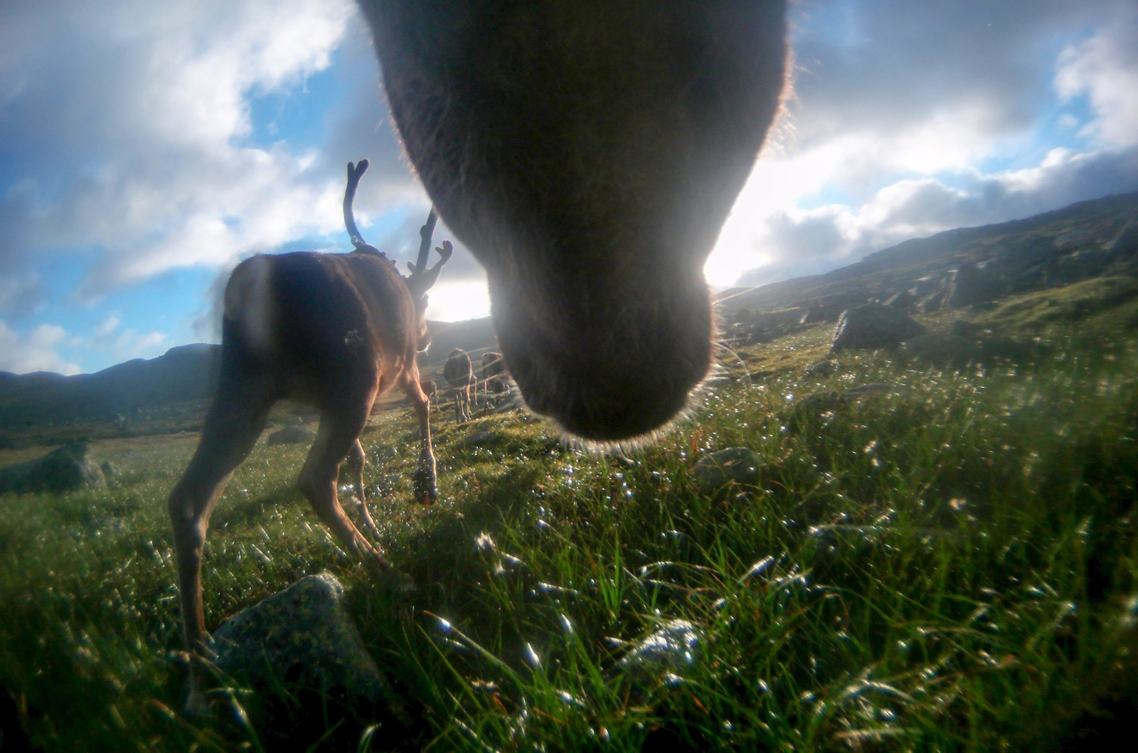 This herd is trekking along a path they've used for thousands of years on Hardangervidda.